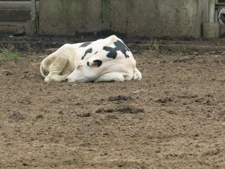 Real cows